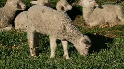 Small merino lamb grazing on lush green pasture
