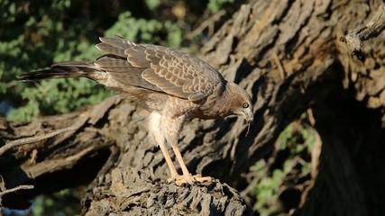 Pale Chanting goshawk feeding, Kalahari desert