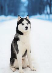 Husky dog sitting in winter day