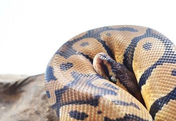Snake coiled