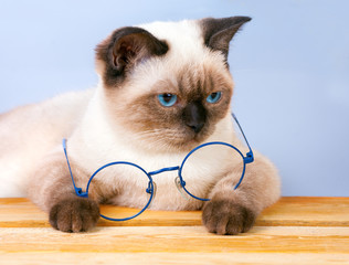Cute siamese cat with glasses sitting at the table