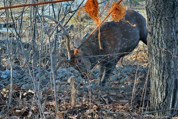 Deer in net 4