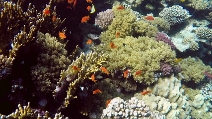 Jewel Fairy Basslets (Pseudanthias Squamipinnis) at coral in Red
