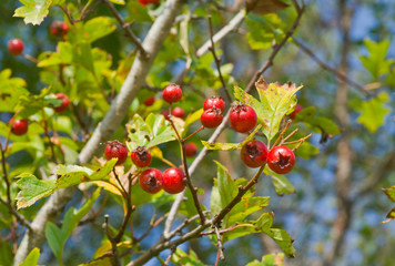 Berries of hawthorn 2