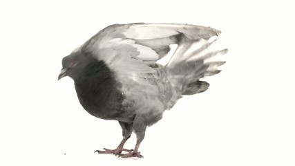 pigeon raises wings