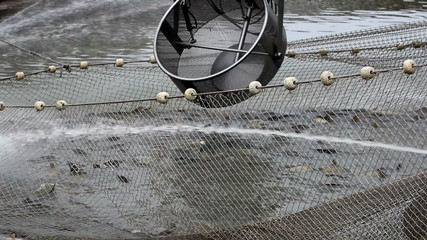Harvesting fish in the pond
