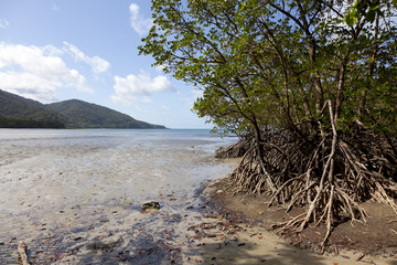 Mangrove trees in Cape Tribulation