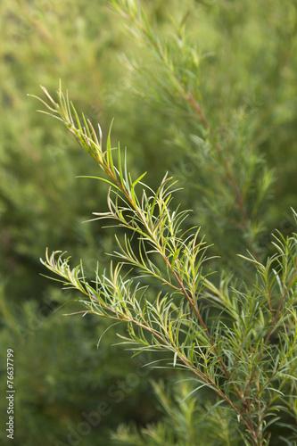 Fotobehang Australië Tea tree sprig