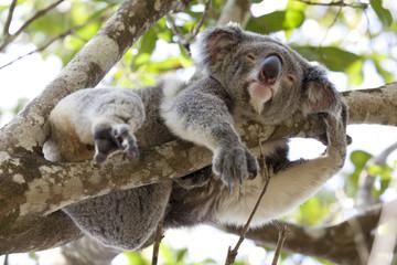 Koala relaxing in a tree, Australia
