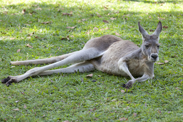 Red Kangaroo lying in the grass