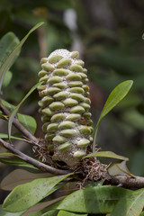 Banksia seed head on a tree in Australia
