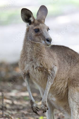 Portrait of a red Kangaroo in Australia