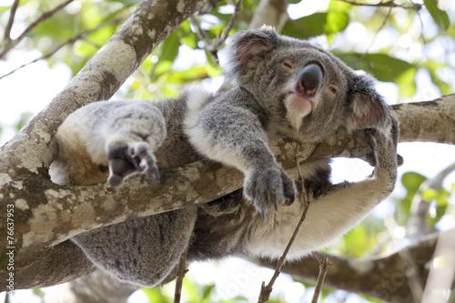 Plexiglas Koala Koala relaxing in a tree, Australia