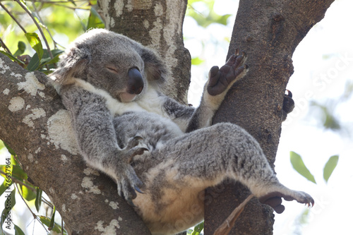 In de dag Koala Koala relaxing in a tree, Australia