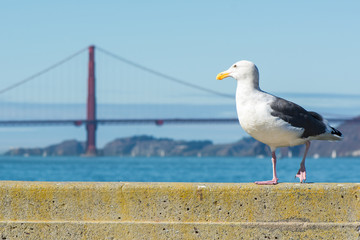 Seagull walking on a railing in front of the Golden Gate Bridge