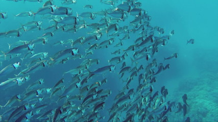 school of Indian mackerel (Rastrelliger kanagurta) feeding in Re