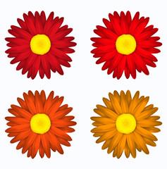 Set de flores en tonos rojos. Margaritas de colores. Primavera