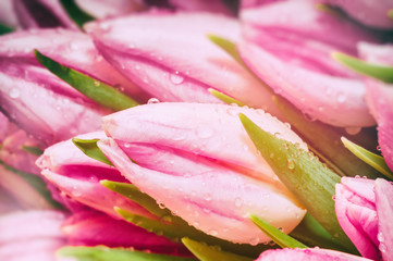 Pink tulips closeup