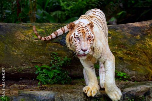 Fotobehang Singapore White tiger, Singapore