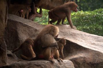Hamadryas baboons, Singapore