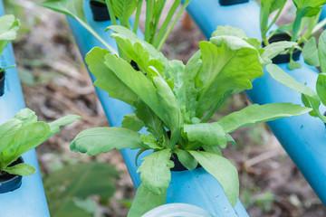 Chrysanthemum coronarium planting Water Hydroponics