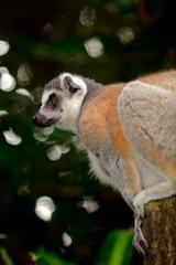 Ring-tailed lemur, Singapore