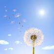 Pollen und Pusteblume