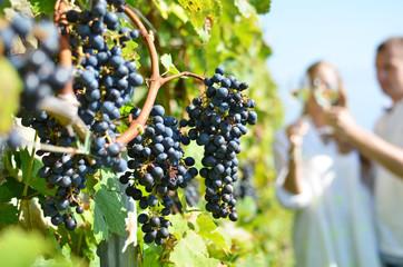 Ripe grapes. Lavaux, Switzerland