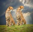 ������, ������: The Cheetah Acinonyx jubatus in african savanna