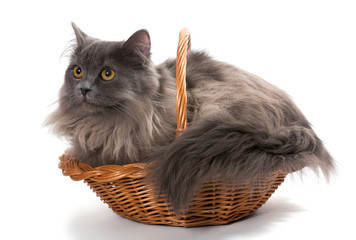 Persian kitten in a basket