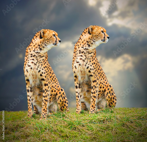 Poster Luipaard The Cheetah (Acinonyx jubatus) in african savanna.