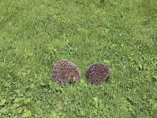Two forest wild hedgehogs on a green lawn