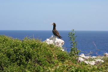 Brown Booby Atlantic Ocean Island