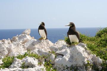 Brown Booby Birds Cayman Island Ocean