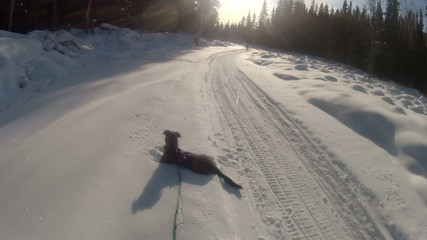 Snow Dog Skier Stopped