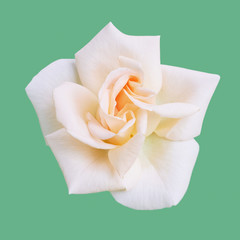 Flower white cream rose on a gentle green background