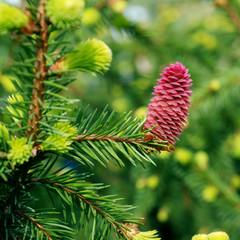 Picea abies Acrocona - spring cone