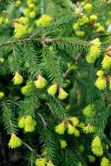 Picea abies Acrocona - spring