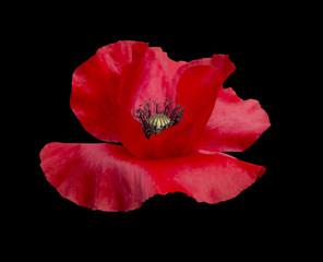 Red Poppy with black pistils