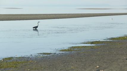 Great Blue Heron Low Tide