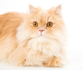 Portrait of young persian cat isolated on white