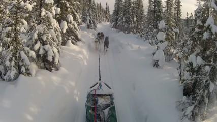 Snow Dog Sled Mushing
