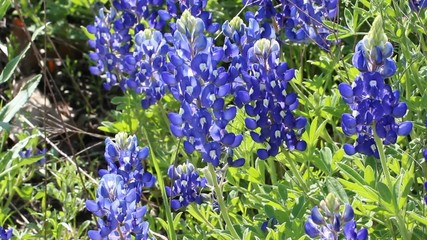 Texas Bluebonnet fiels blooming in spring