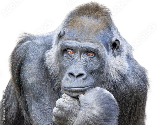 Foto op Canvas Aap Contemplative Gorilla