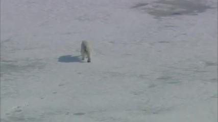 Arctic Snow Polar Bear