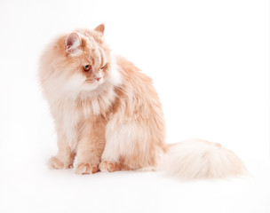 young persian cat isolated on white