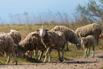 Camargue Schafe 2