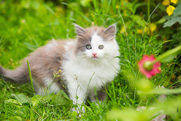 gray, white kitten with blue eyes on grass