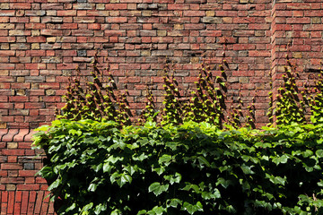 ハーバード大学の煉瓦と蔦