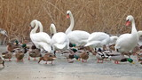 Many waterbirds  on the lake in winter poster